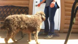 Labradoodle Maybelline! Labradoodle Dog Training / Off Leash K9 Training