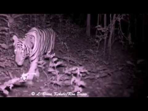 Tiger's reaction to red LEDs and camera traps