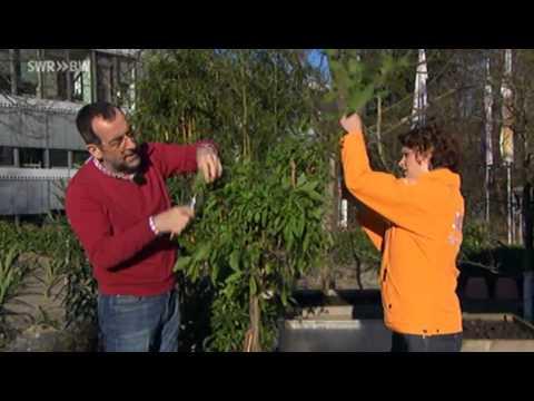Mediterrane Kübelpflanzen Zurückschneiden