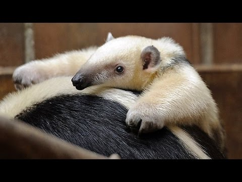 Baby Anteaters