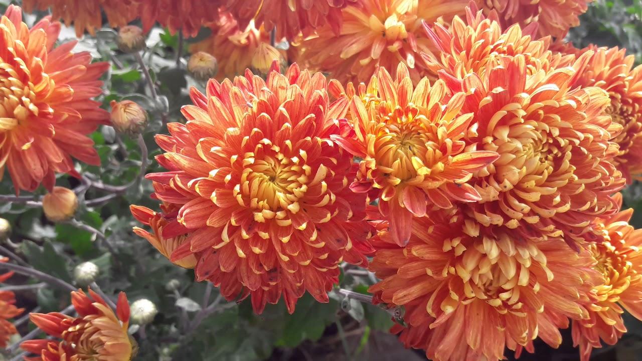 Хризантема индийская клеопатра выращивание из семян 90