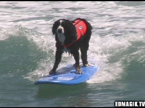 Dog Surfing: Surfingpaws Dog Jam Surfing Competition 2009