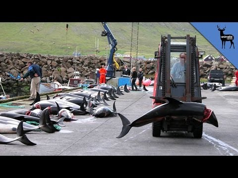 Japan Defends Massive Dolphin Killings
