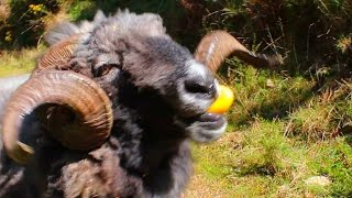 Angry Ram pigging out on lemons