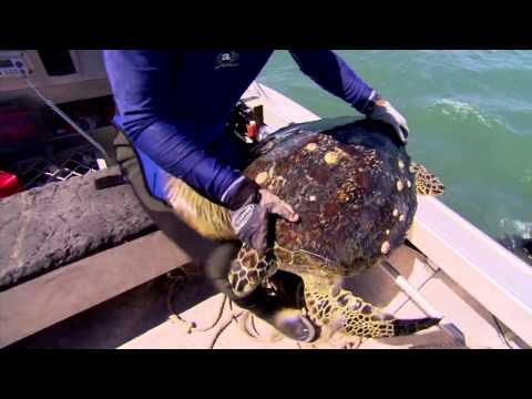 Turtles: dinosaurs of the sea