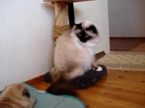 Pug wants to play with the cat