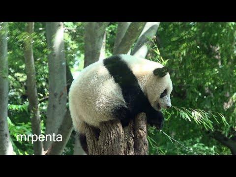 シャンシャン 8月19日 上野動物園 香香 パンダ