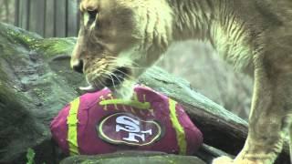Wild Ravens Fans! (A 49ers Takedown)