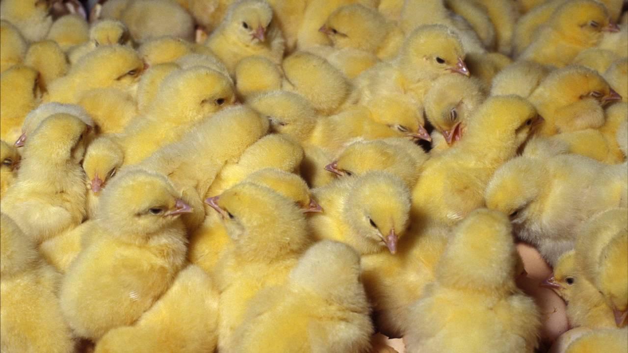 Цыплята бройлеров выращивание в домашних условиях