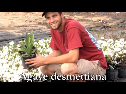 Header of Agave desmettiana