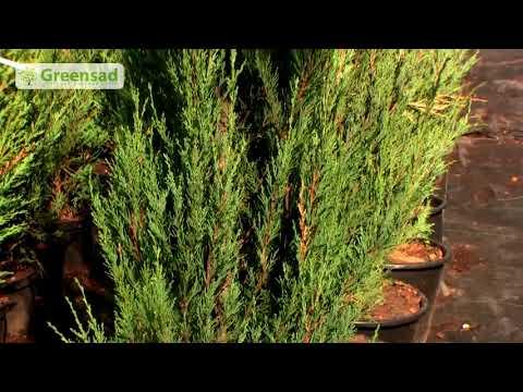 Хвойные растения в ландшафтном дизайне.