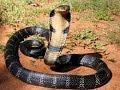 Ular Tedung Selar(King Cobra) vs Anjing(Dog)