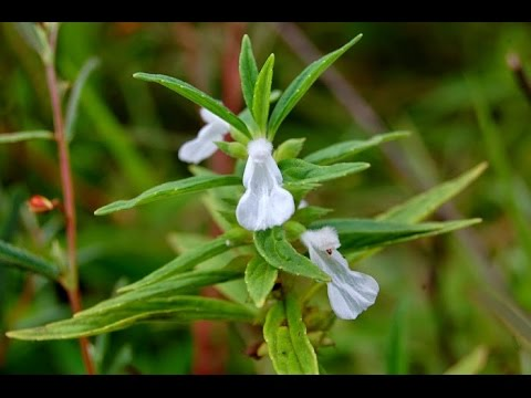 Ayurvedic Benefits of Leucas Cephalotes (Dronpushpi) for Cancer treatments | Acharya Balkrishna