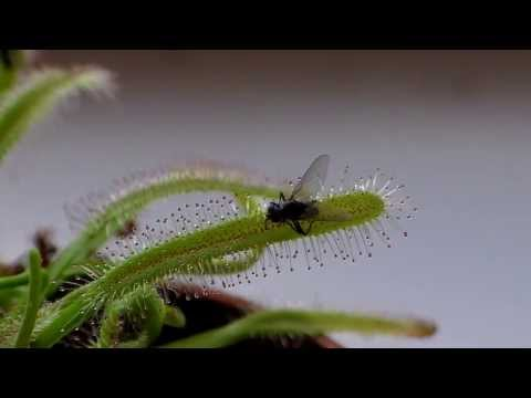 Drosera Capensis: time lapse of eating a fly (in HD)