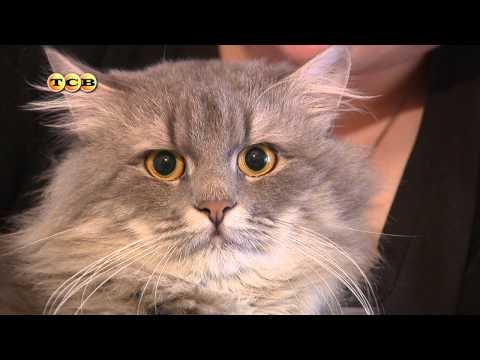 Породистые кошки в приюте