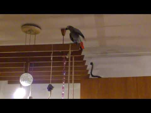Папагалът Джаро, бърборкото....