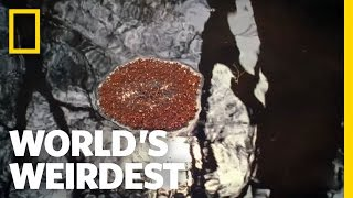 Fire Ants Make Living Raft | World