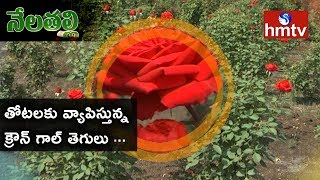 Preventative Treatment of Crown Gall Disease On Roses | Nela Talli Special Focus | hmtv