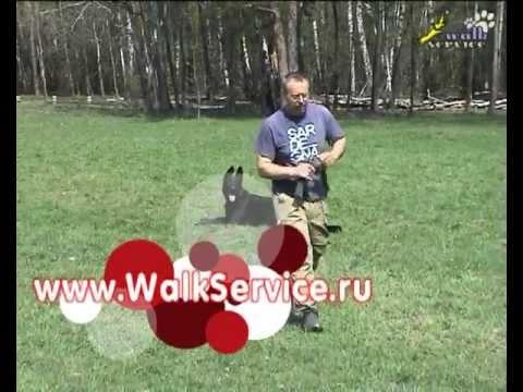 Дрессировка собак, общий курс дрессировки, ОКД собак