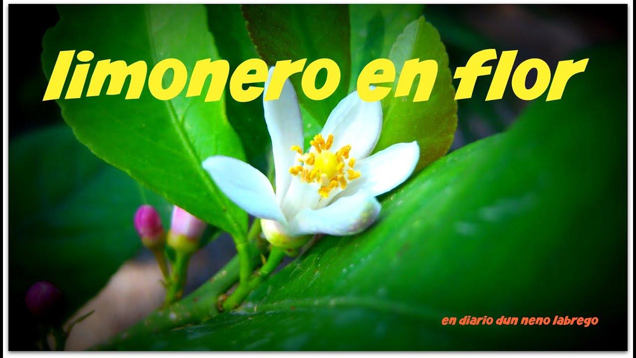 Limonero en flor youtube - Limonero en maceta ...