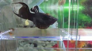 black molly fish giving birth