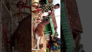 Suara burung merpati jantan