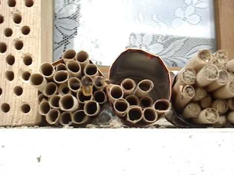 Solitary bees 2009 - new species arrive