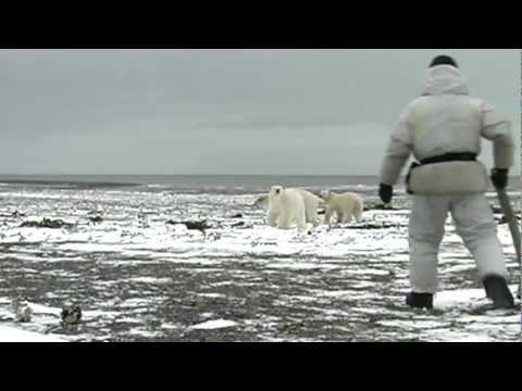 Animales - La inocencia del Oso Polar