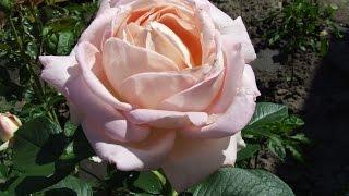 ВЛОГ  Обзор покупок . Чай из  лепестков роз .
