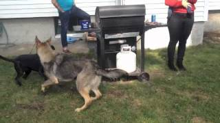 Dog Fight Solid K9 Training presents Dramatic Results-Aggressive Rehab