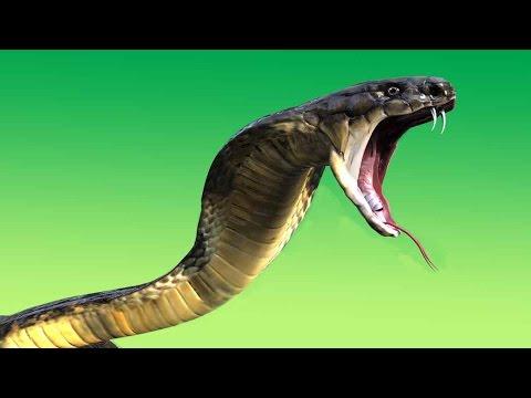 King cobra venom effects