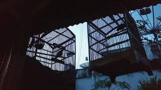 Suara Burung Kutilang Trucukan Dan Puter Di Pagi Hari
