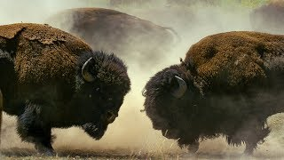 Male Bisons Fight for Harem Rights | BBC Earth