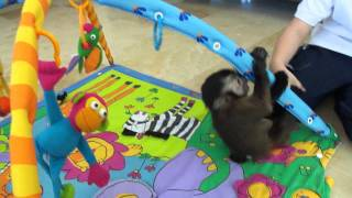 baby monkey nala gets a new toy