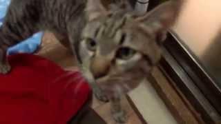 【譲渡決定_猫】オラフ