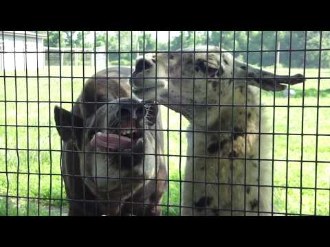 Tapir and Llama