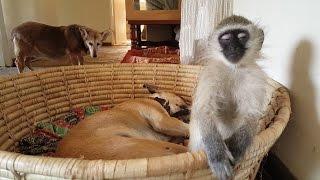 Sleepy Monkey | नींद पर नहीं चल पा रहा इस बंदर का जोर