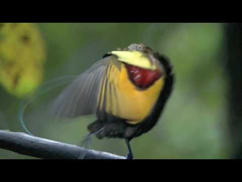 Astounding Mating Dance Birds Of Paradise -- High Quality video