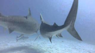 Tiger Sharks Awesome Creatures