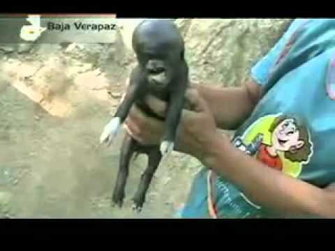 Nace un cerdo con cabeza humana Sucedió en Guatemala. La familia ...