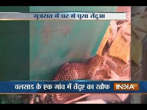 Video: Stranded Leopard Enters a Village in Valsad, 3 Injured