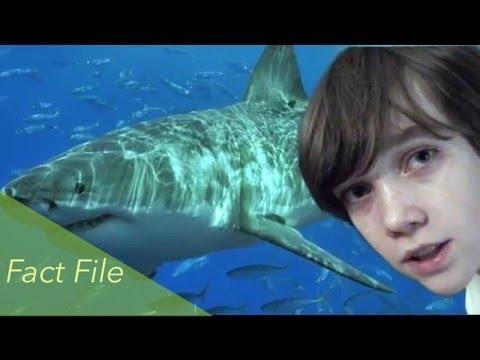 Great White Shark Fact File - Ocean Life