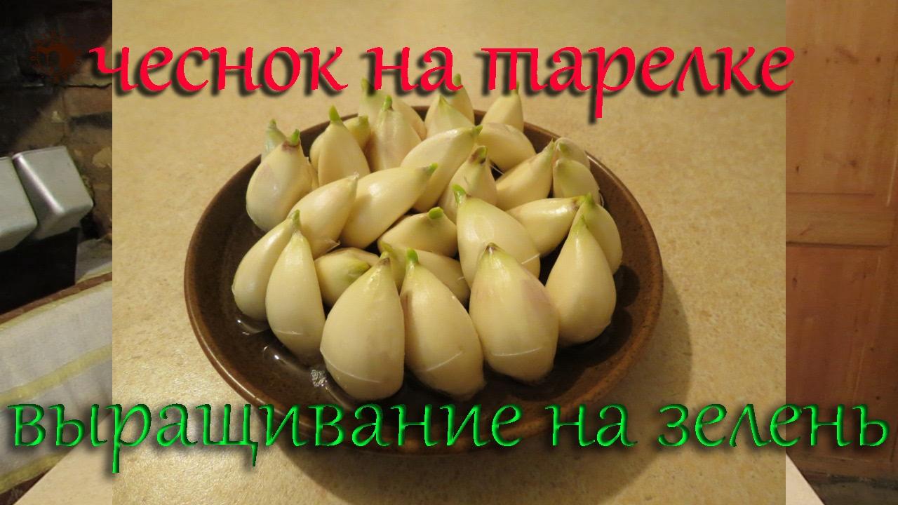 Выращивание чеснока на зелень 65