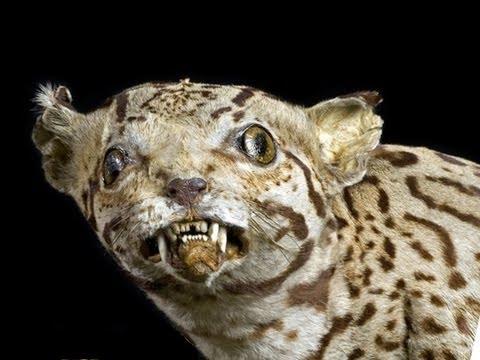 Big Cat Taxidermy