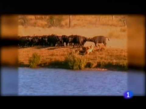 Leones vs Búfalos vs Cocodrilos narrado en español (spanish)