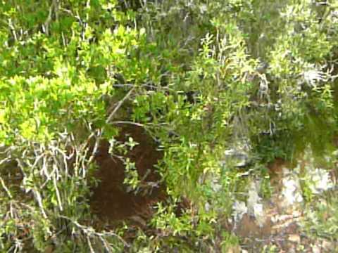Cinghiale catturato da un laccio dei bracconieri  - Gutturu Mannu (Sardegna SW) - Dic 09 1a parte
