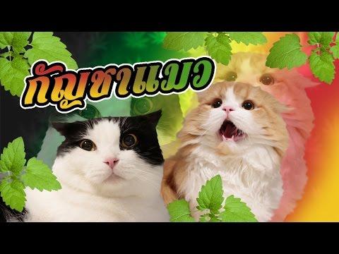 Theycallmemeaow | กัญชาแมวคืออะไร?