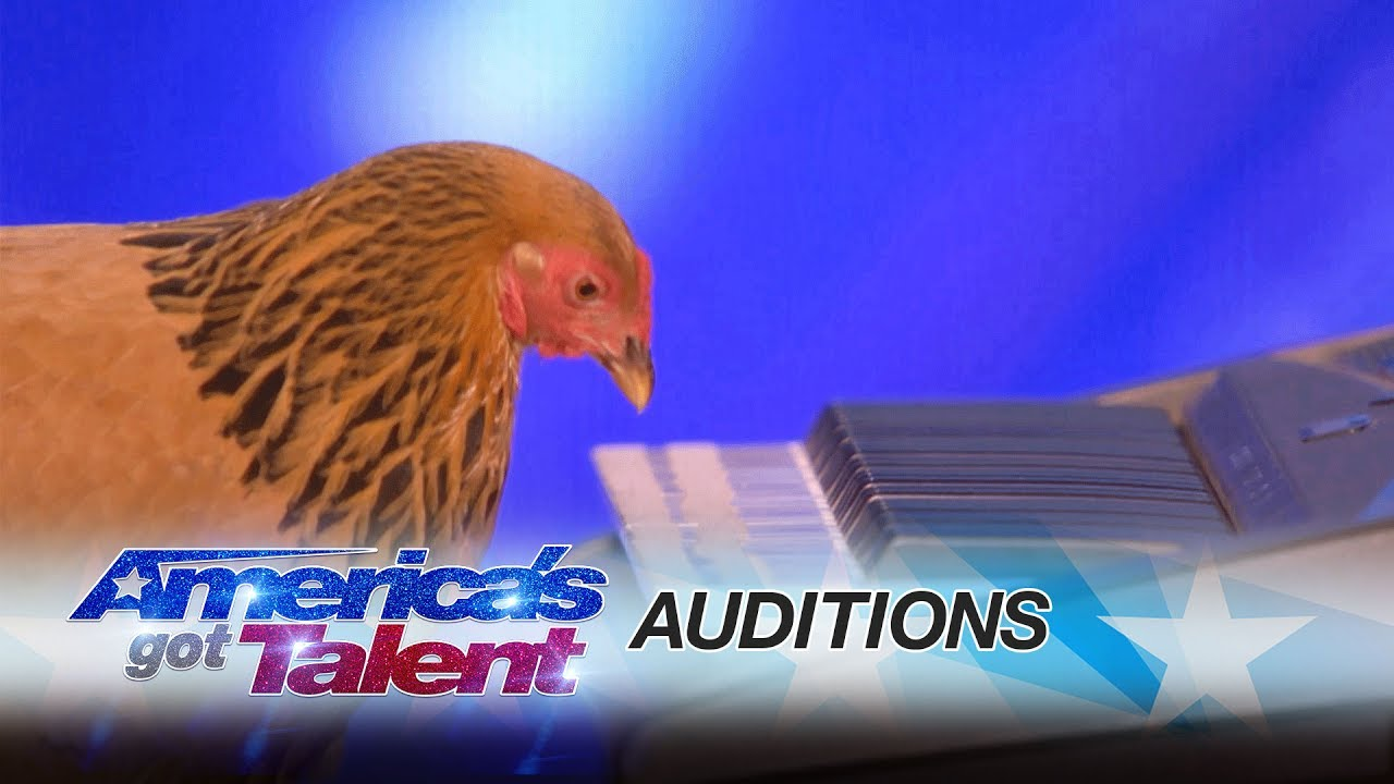Did you know chickens can be musically gifted as well? This patriotic chicken goes for national fame in America's Got Talent!