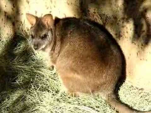 Parma Wallaby Video