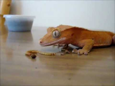 Lizards Eat Worms Gecko Eats Meal Worms For